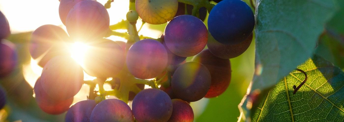 Gottesdienst_Weinreben mit Sonne (pixabay_grapes-3550742)_1920×1280